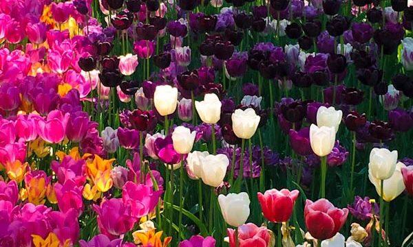 MESSER TULIPANO al Castello di Pralormo: benvenuta Primavera!
