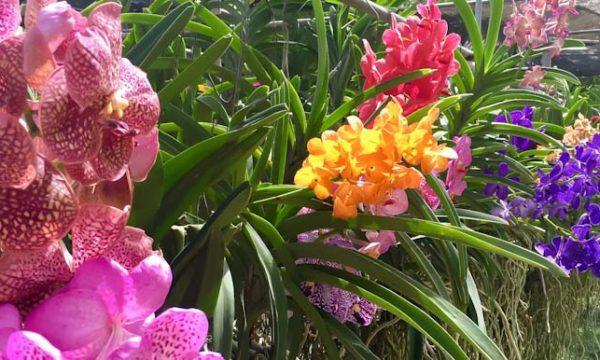 ORCHIDEE: dalla Thailandia, consigli utili per la loro cura