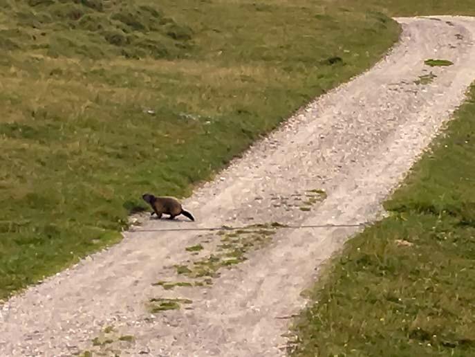 Marmotte lungo il sentiero delle marmotte