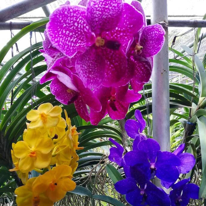 Orchidee thailandesi
