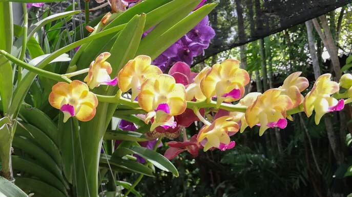 Orchidea thailandese