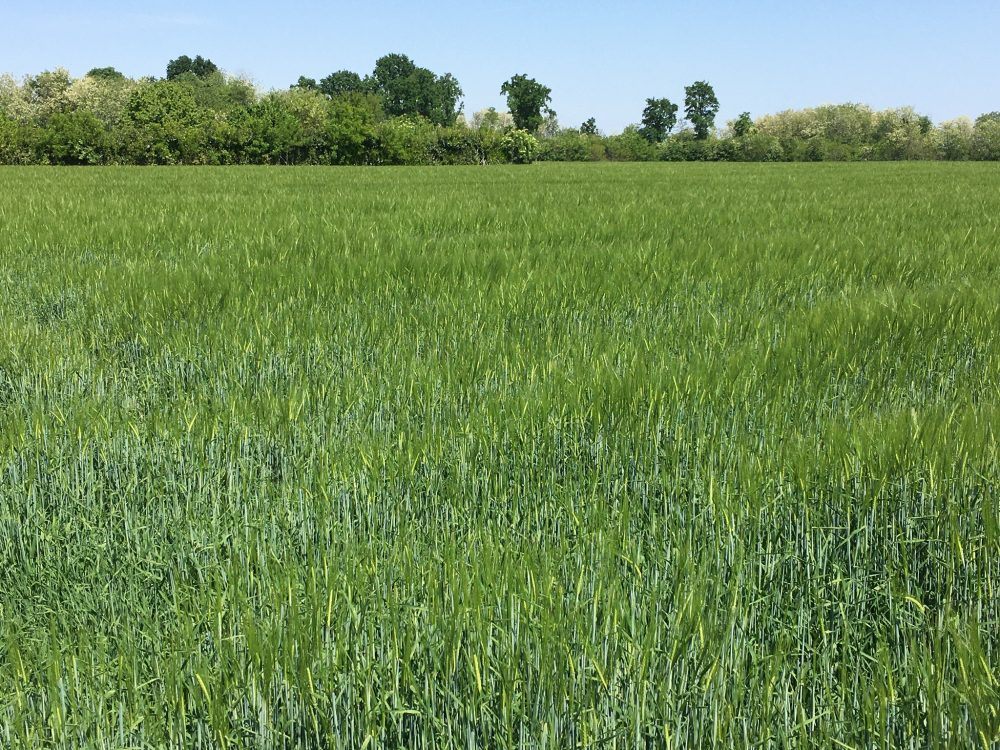 Campi di grano durante il covid-19
