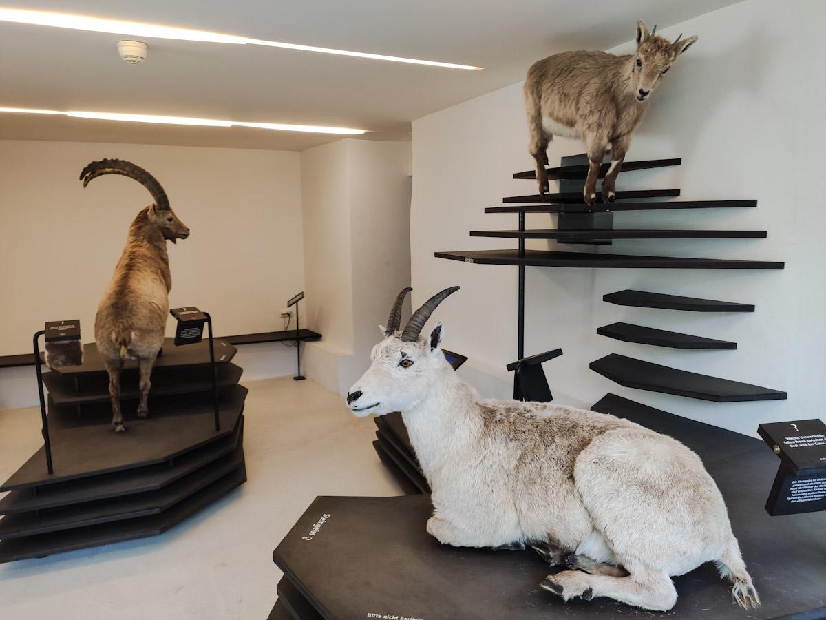 Dove imparare a conoscere la vita degli Stambecchi al Center da Capricorns a Wergenstein al Natur Park Beverin