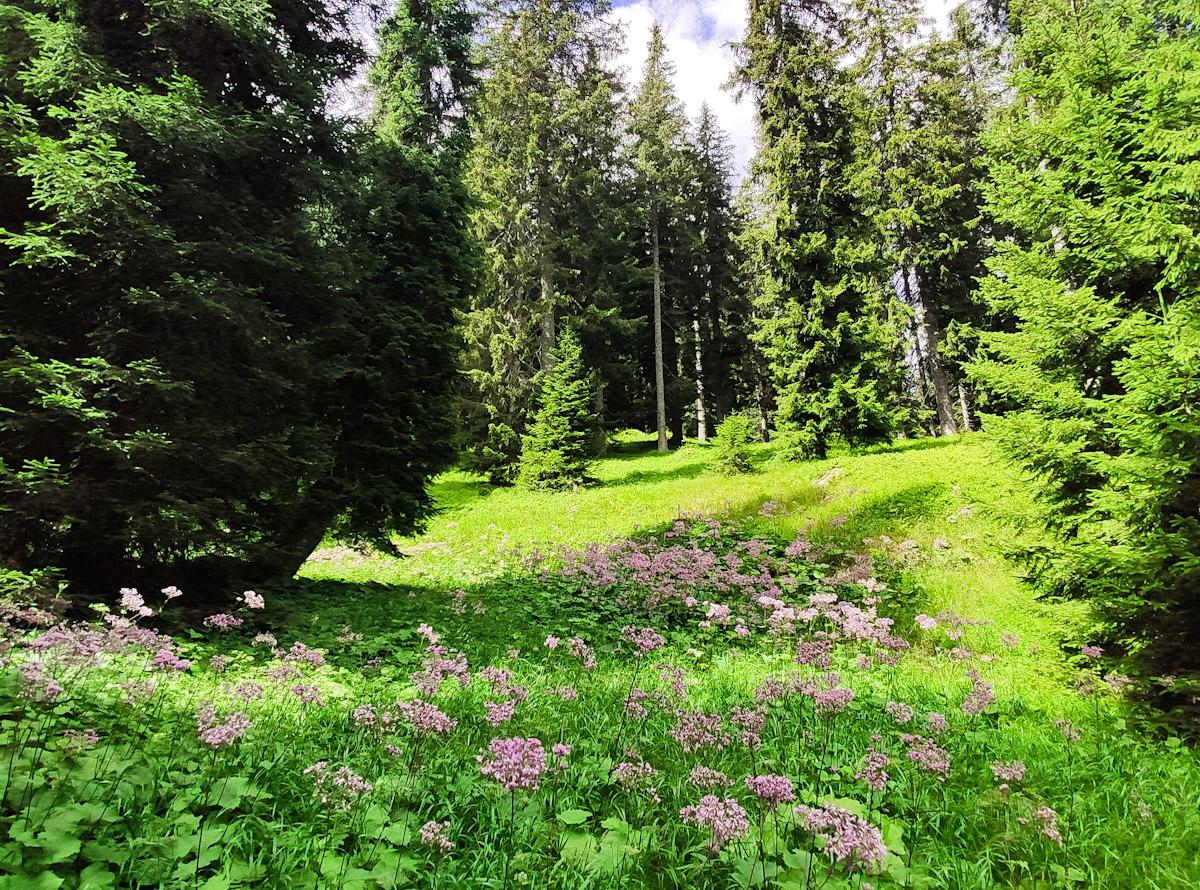 Fiori alpini sul sentiero didattico Diversità Forestale a San Bernardino in Svizzera, percorso tematico