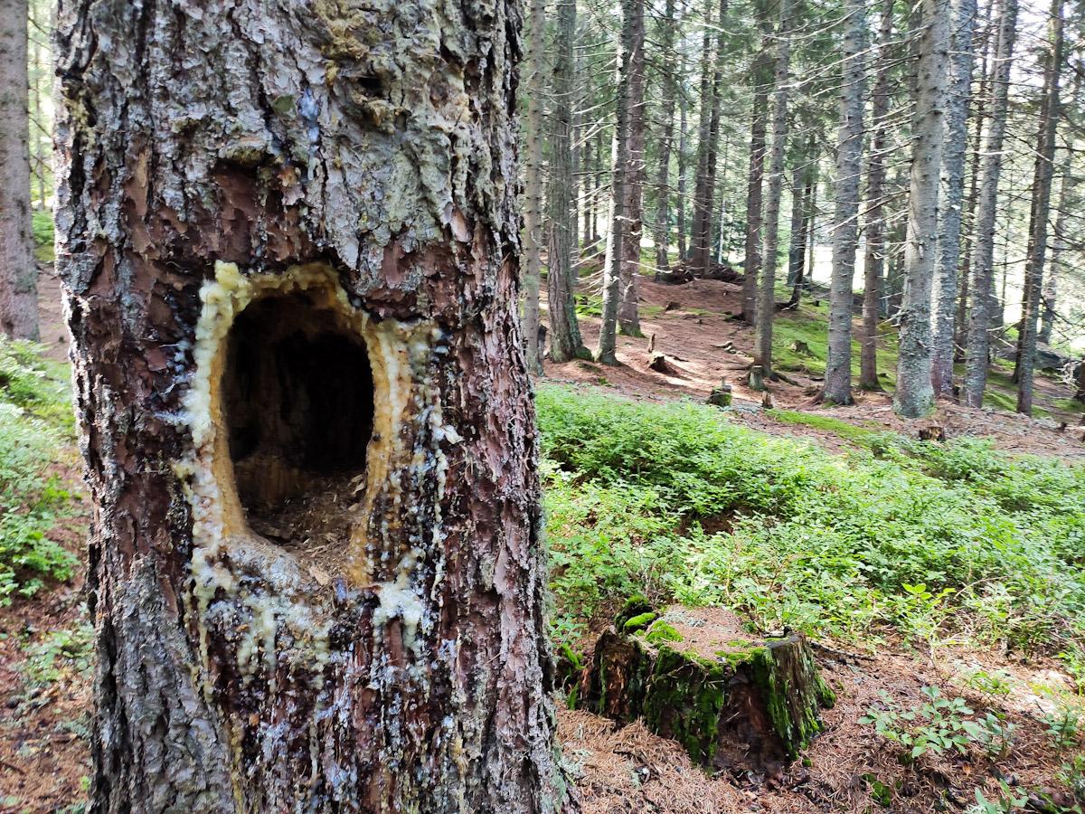 Nido di picchio scavato nel tronco nel Bosco Incantato dell'Osservatorio Eco-Faunistico Alpino di Aprica