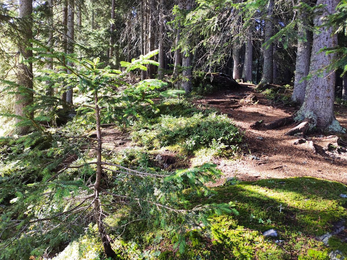 Sentiero nel Bosco di larici e abeti rossi