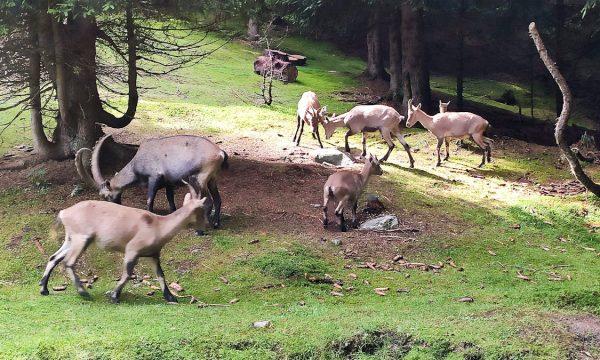 OSSERVATORIO ECO-FAUNISTICO ALPINO di Aprica: dove vedere stambecchi, orsi e camosci