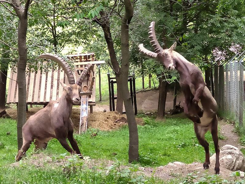 Stambecchi al Parc Animalier d'Introd